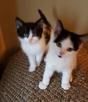 Beautiful Maine Coon x Kittens.. ONLY 2 LEFT!