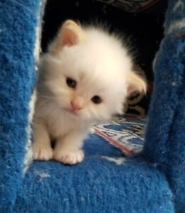 FlamePoint Himalayan Kitten - Healthy, Playful - New home Ready