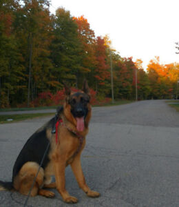 Beautiful German Shepherd looking for a caring family