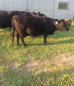 Angus/Lowline bred cow