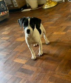 Springer spaniel cross jack Russell puppies for sale