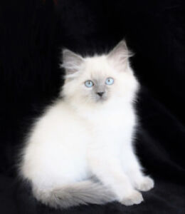 BEAUTIFUL RAGDOLL KITTENS FOR REHOMING
