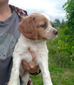 French Brittany Spaniel puppies - 1 pup left!