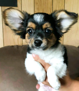 adorable papillon X puppies
