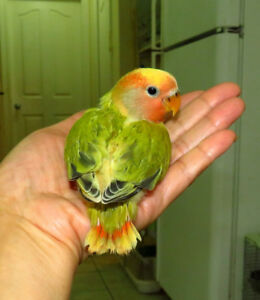 handfed baby lovebird (olive green opaline)==SOLD