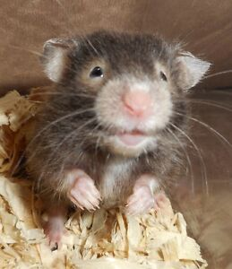 Hamster   Adopt or Rehome Pets in St. Catharines   Kijiji ...