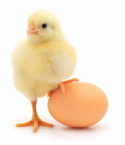Needs your chicken or duck eggs hatched?