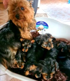 Beautiful 8 week old Yorkshire terrier
