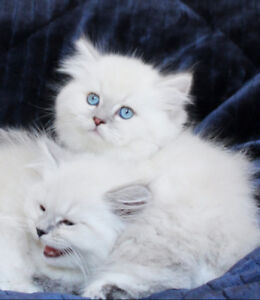 Male Persian Kittens with Blue Eyes