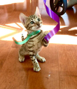 Gorgeous Pure. Bengal Kittens (TICA reg. avail.)/1 AbyssinianX