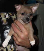 BLUE FAWN Male Chihuahua Puppy Ready Now For New Home