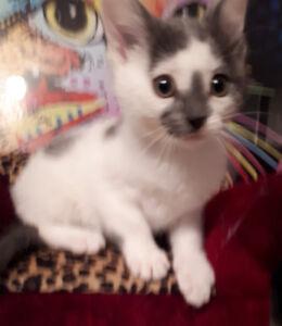 Thomas - rescued grey & white male kitten for adoption