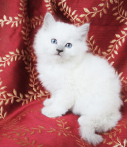 Female Ragdoll Kittens are Available for Good Homes