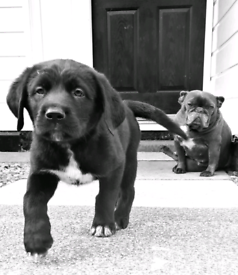 Caucasian shepherd's x Bully Kutta Mastiff Pups **READY FRIDAY **