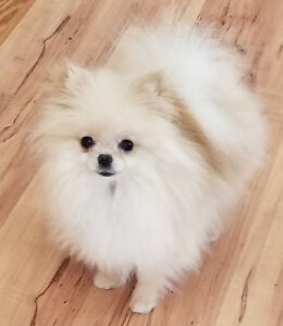 STUNNING and RARE Teacup Pomeranian Female!!