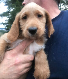 Apricot Labradoodle puppies.- ready now