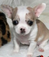 STUNNING TINY REGISTERED CHIHUAHUA PUPPIES