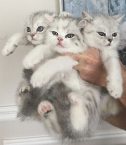 Scottish Fold and Straight purebred kittens - 8 weeks old