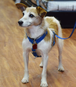**Adorable Denim - JACK RUSSELL cross is available for adoption