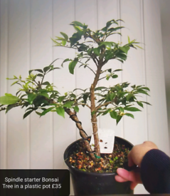 Spindle Bonsai starter Tree in Training/plants/Garden/Xmas present