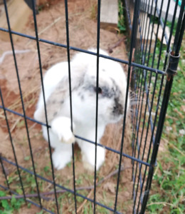 11 Month old Female Holland Lop with fox proof cage