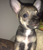 Female chihuahua for sale