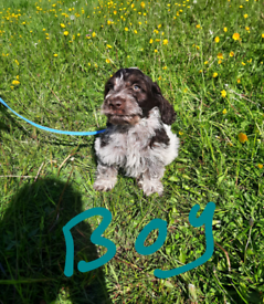 ready now F1 Blue Rome Cockapoo puppies