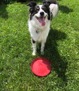 Pension familiale pour chiens/gros terrain clôturé
