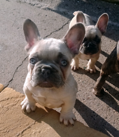 KC registered French bulldogs Ready now.