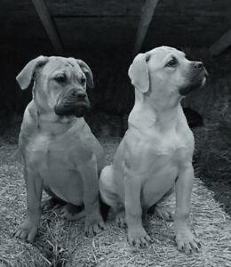American Bullmastiff Puppies