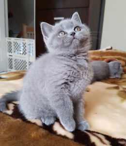 British Shorthair for sale!
