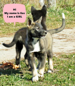 several husky pups available with their 2nd vaccination