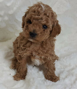 GORGEOUS MALTIPOO & MORKIE PUPPIES TO COME...