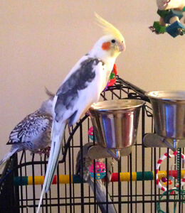 Year old male cockatiel