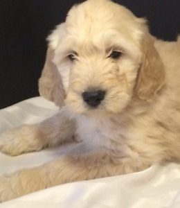 Medium holistic Goldendoodles hypo/shed free