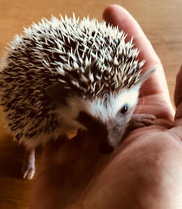 Sweetest baby Pygmy Hedgehogs ready now!