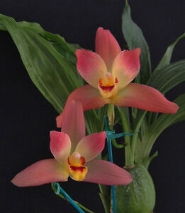 Orchid Lycaste Red Jewel -- Blooming Size