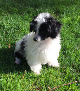 Tiny black and white fluffy toy parti poodle male