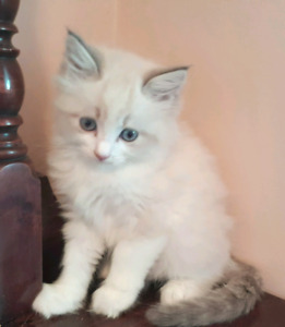 Blue Bicolour Lynx Male Ragdoll TICA Breeder