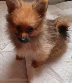 Pomeranian MALE puppies READY NOW!!! 💛