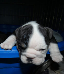 English bulldog pups and adults for sale