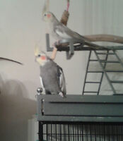 2 Cockatiel with cage and toys