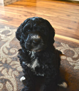 F1B Bernedoodle puppies just in time for Xmas Belleville Belleville Area image 2