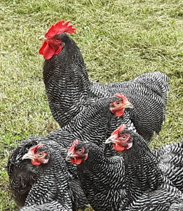 Laying Hens - Chickens for Sale!