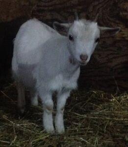 3 Mini Goat Kids- Doe and Wethers, pygmy x nigerian dwarf Williams Lake Cariboo Area image 5