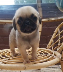 Dogs for sale in Liverpool, Merseyside - Gumtree