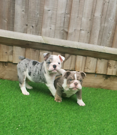Top quality English bulldog pups