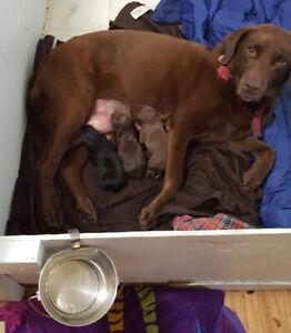 Field Trial Hunt Test Lab Puppies