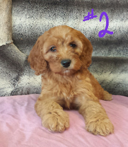 Gorgeous Cockapoo Puppies! Ready now! !!