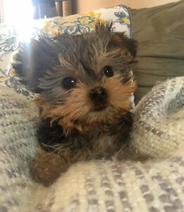 Morkie Puppies available now! Maltese x Yorkie